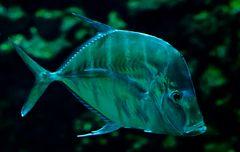 Der gläserne Fisch