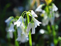 Der Glöckchen- Lauch (Allium triquetrum)