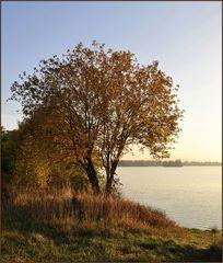 der Goldbaum