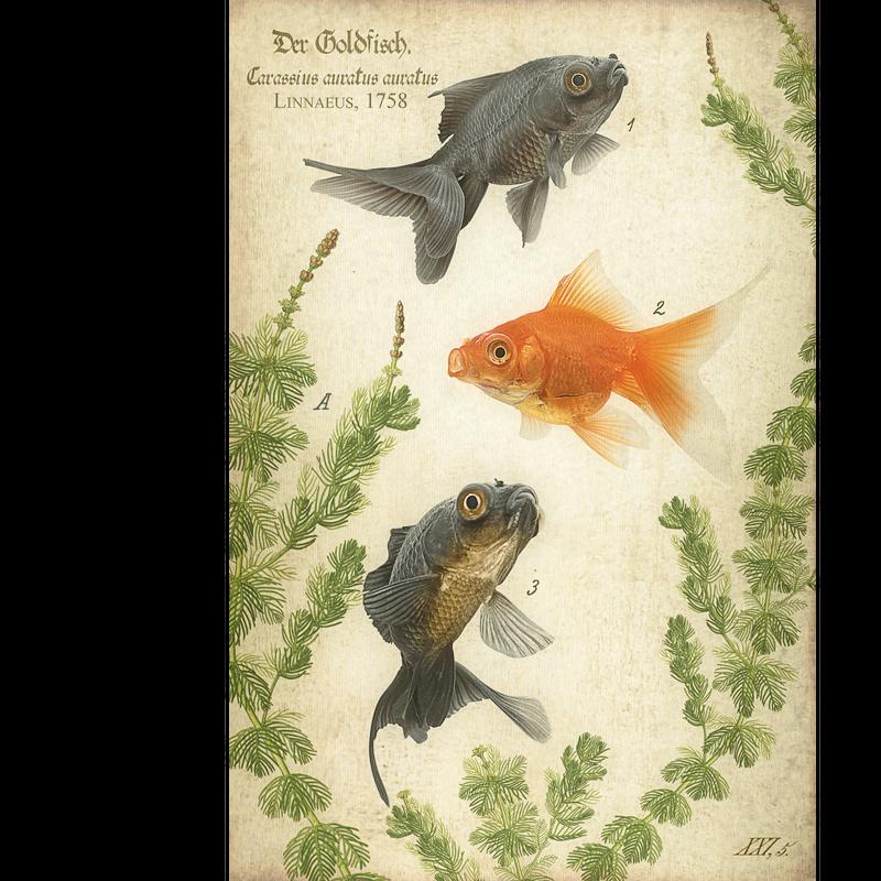 Der Goldfisch, 1758.