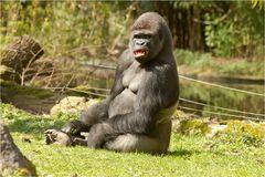 Der Gorilla im Duisburger Zoo