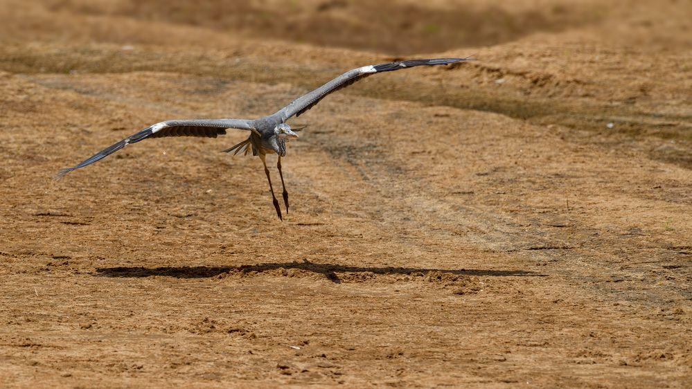 Der Graue Heron