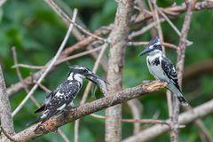 Der Graufischer oder auch Pied Kingfisher (Ceryle rudis)