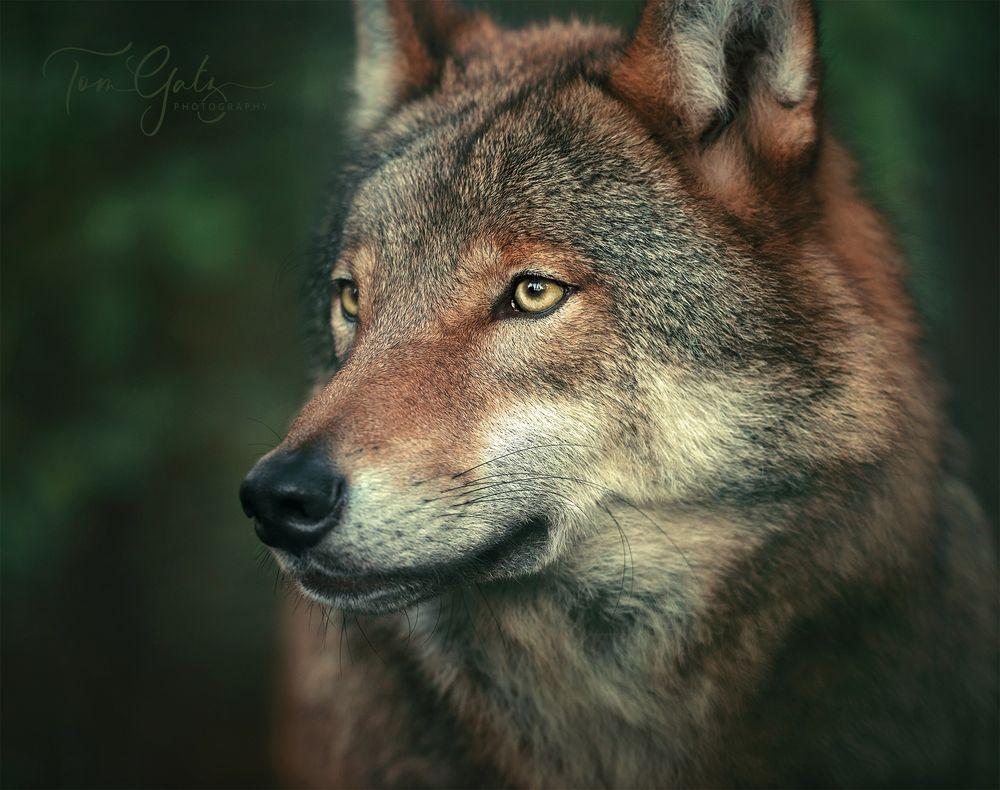 Der Grauwolf