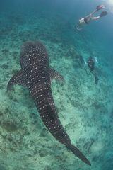 Der grösste Fisch der Welt...