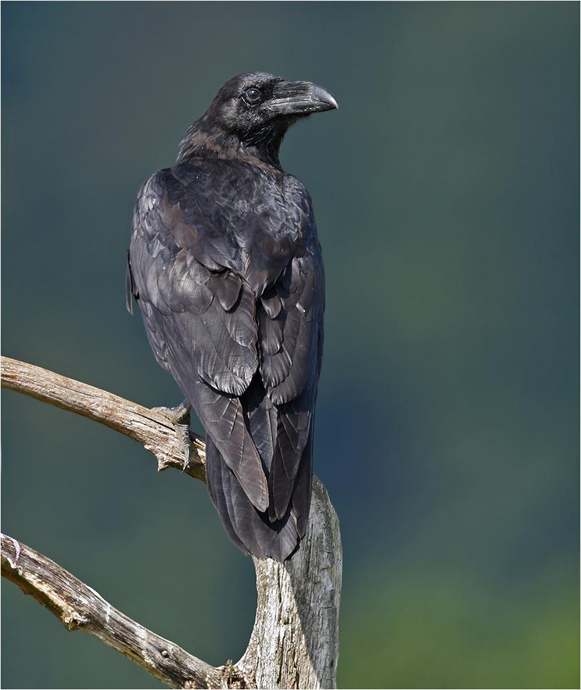 Der größte Singvogel