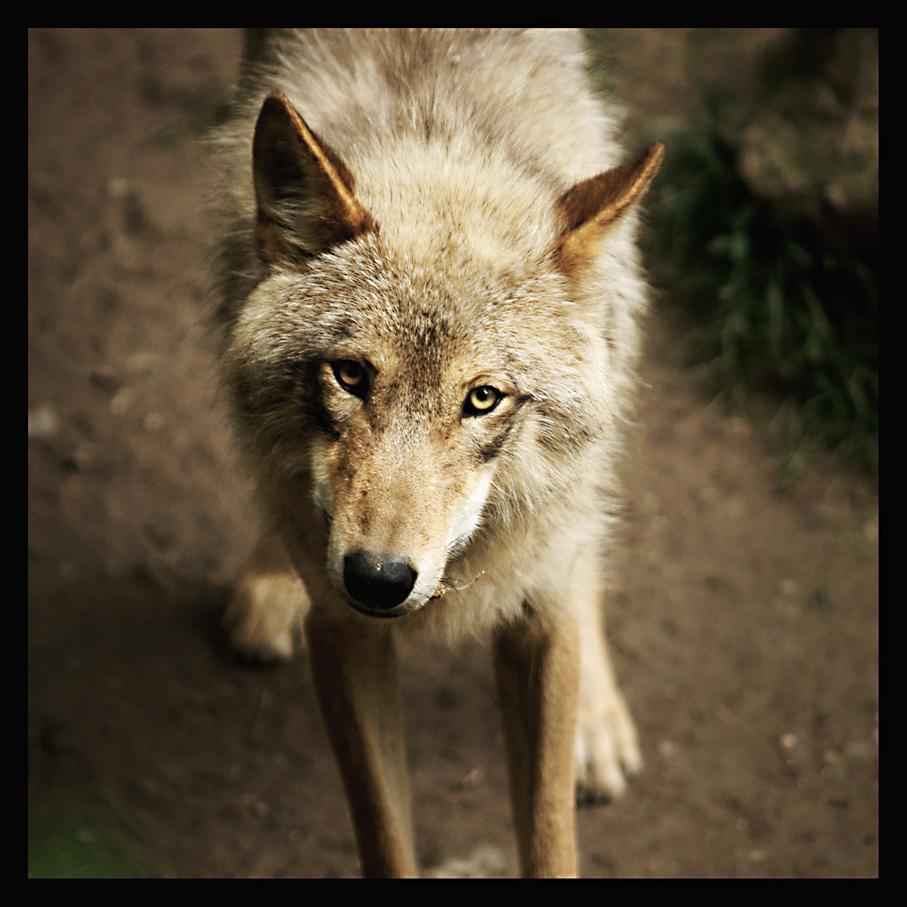 Der Große Böse Wolf