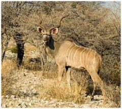 Der Große Kudu