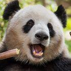 Der Große Panda 2