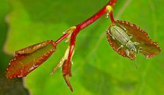 Der Grüne Rüsselkäfer fühlt sich hier geborgen! - Il se sent protégé dans cette feuille!