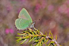 Der Grüne Zipfelfalter (Callophrys rubi) und seine Raupe. - La Thècle de la ronce et sa chenille.