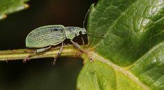 der Grünrüssler (Phyllobius)