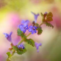 der gundermann  - heilpflanze und gewürz