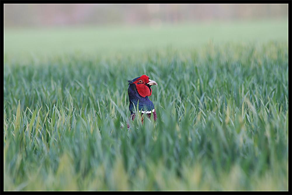 Der Hahn im Kornfeld
