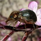 Der Halligflieder Spitzmausrüsselkäfer