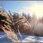 Der Halm in der Wintersonne