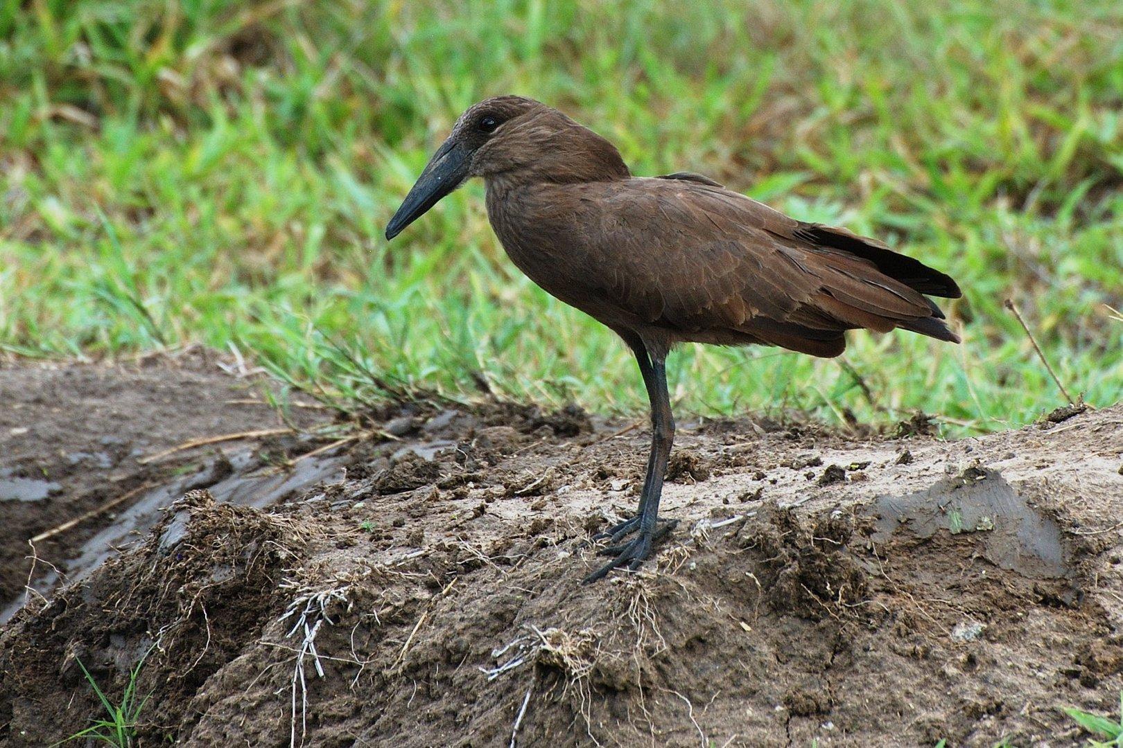 Der Hammerkopf oder Schattenvogel (Scopus umbretta)....