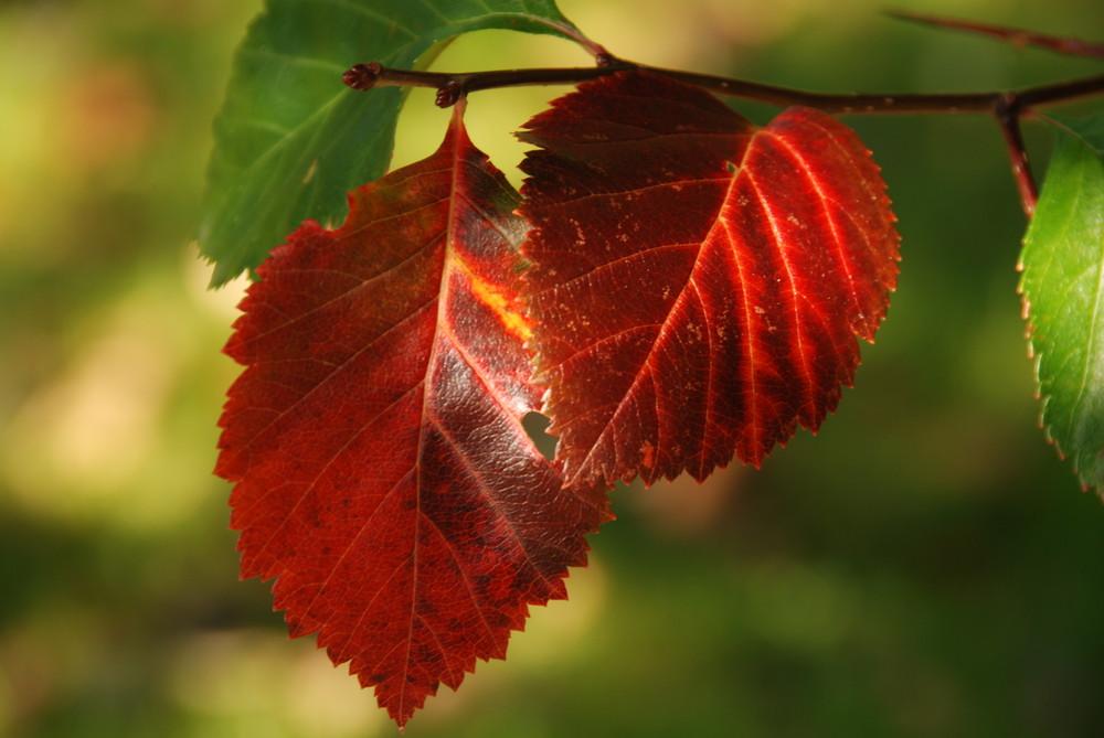 Der Herbst ist rot ...