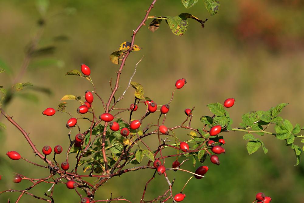 Der Herbst schenkt uns vielerlei Früchte VI