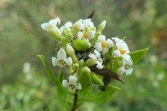 Der Herbst-Seidelbast (Daphne gnidium)