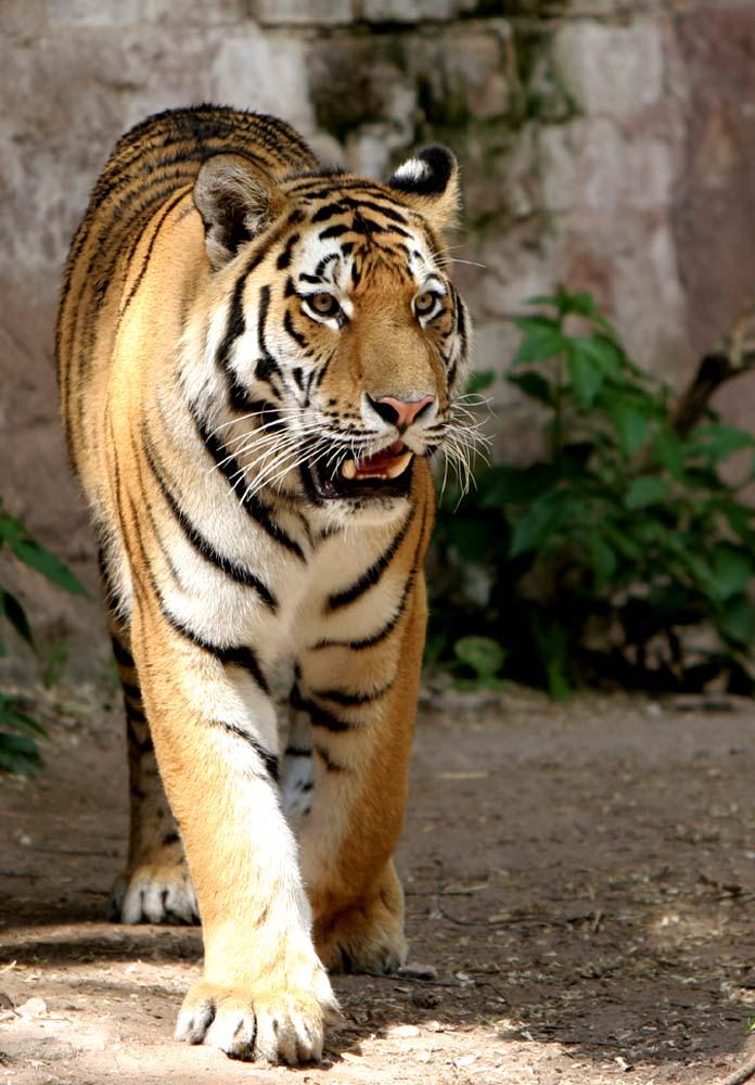 Der Herrscher des Dschungels ...