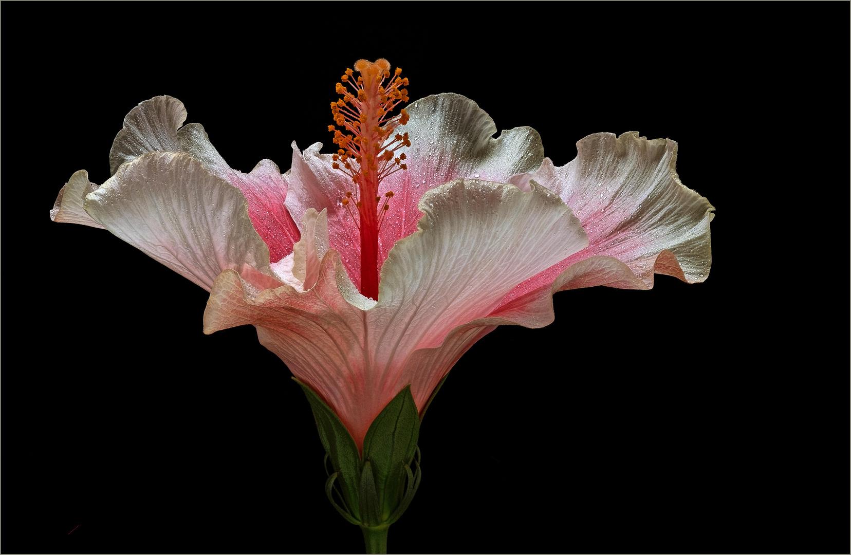 Der Hibiskus gilt für Viele als Königin der tropischen Blumen