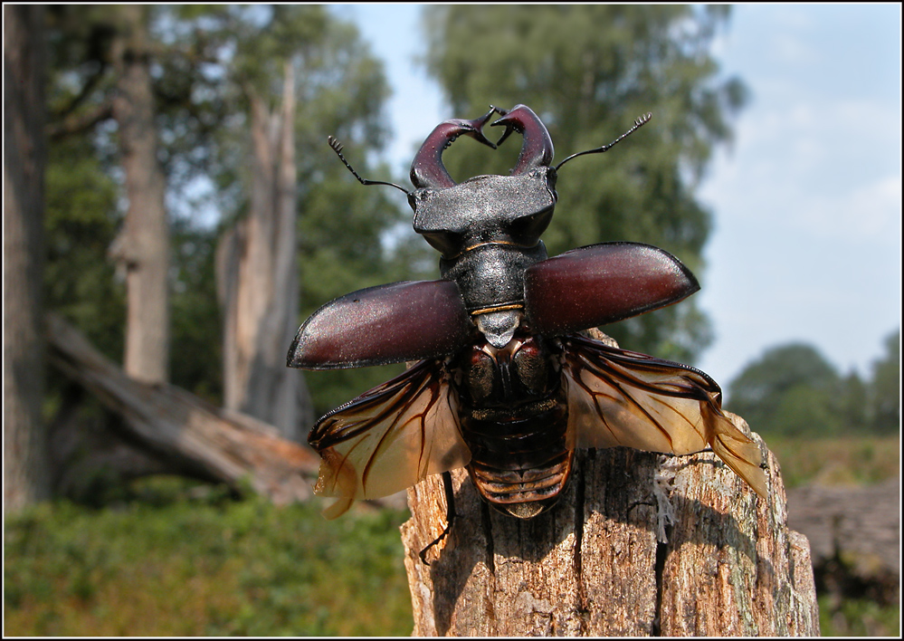 Der Hirschkäfer.... Lucanus cervus