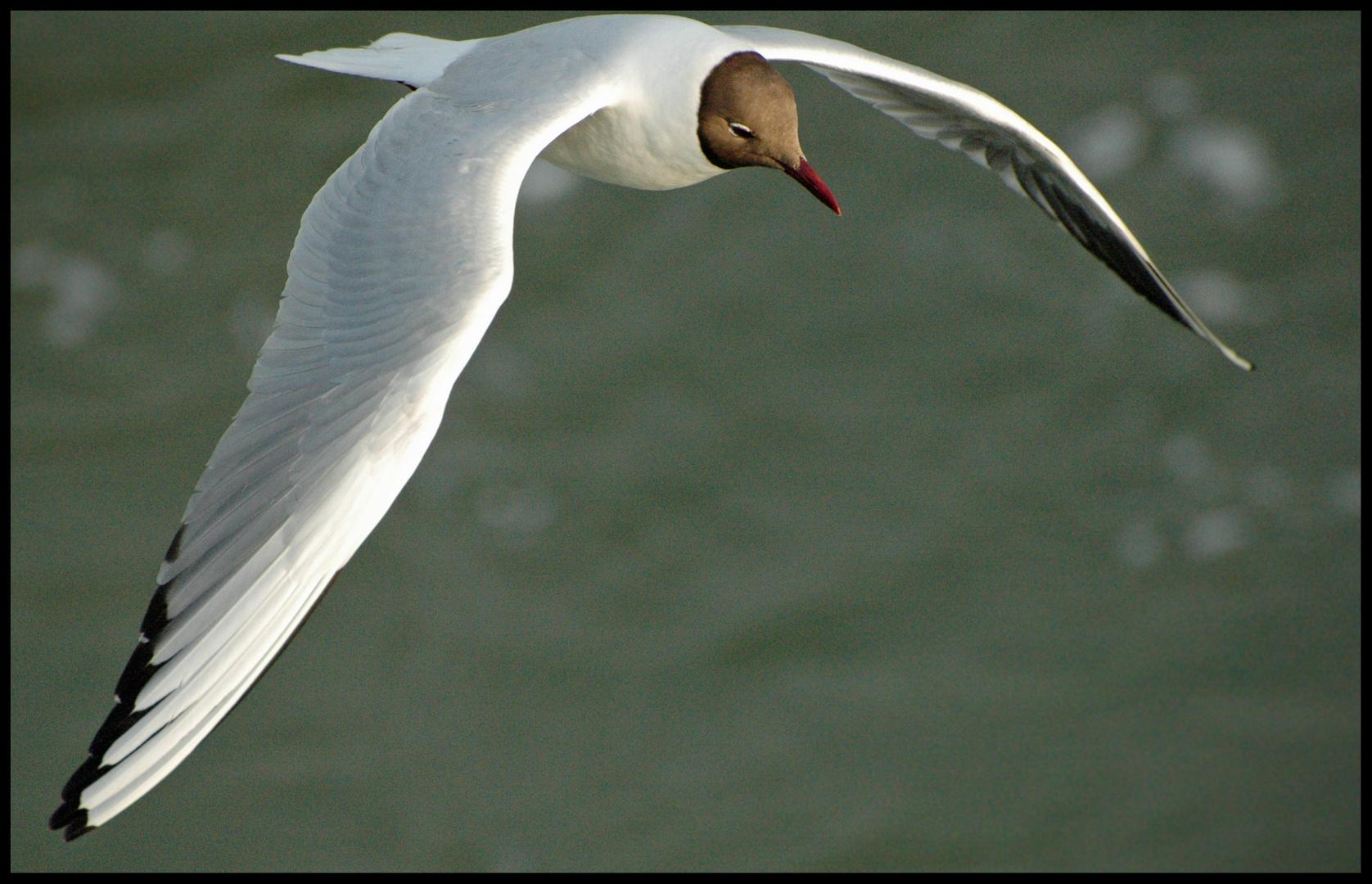 Der Holländische Vogel
