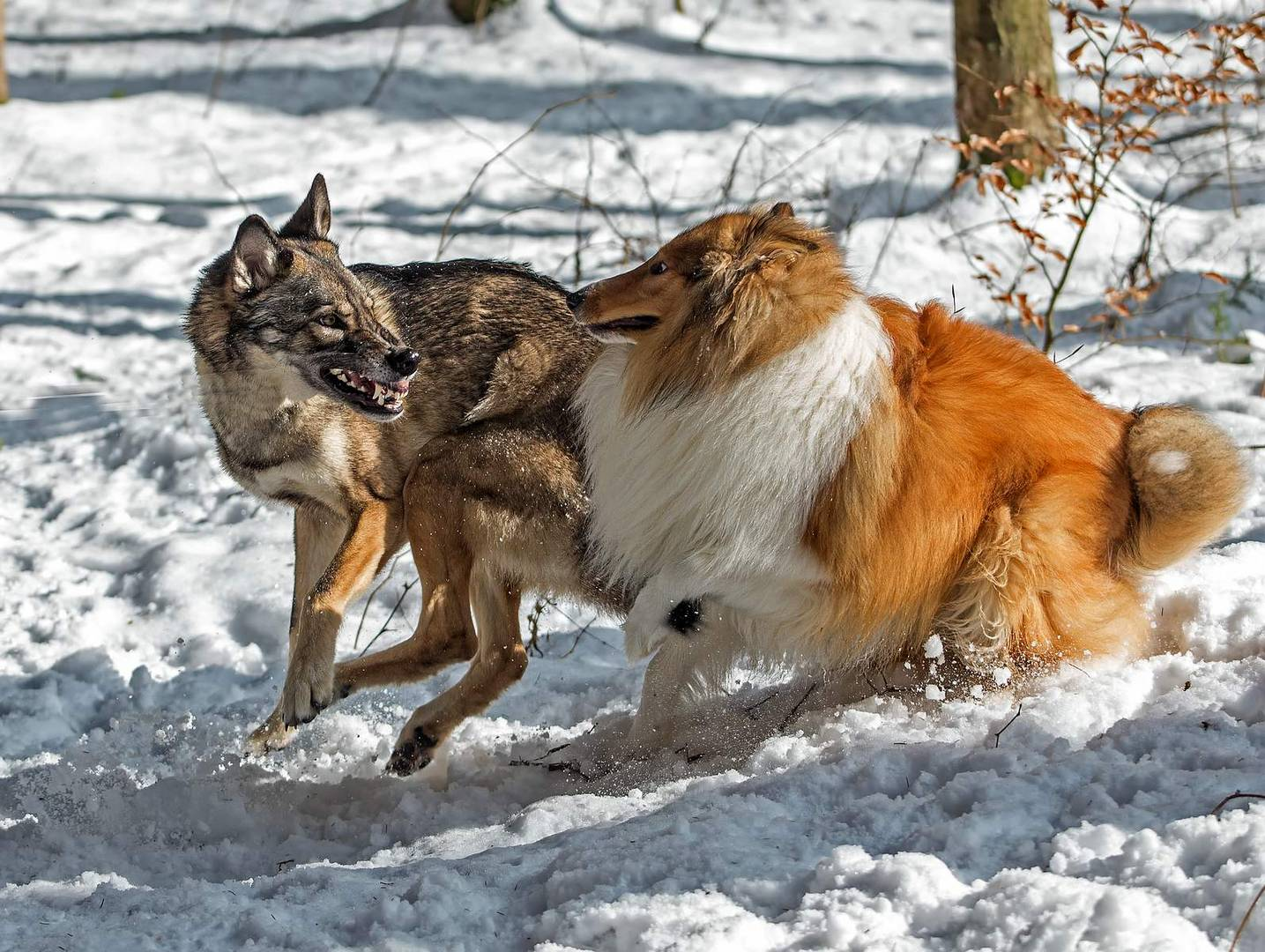 Der Hütehund und der Wolf