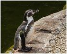 Der Humboldt-Pinguin