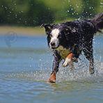 Der Hund, der übers Wasser läuft