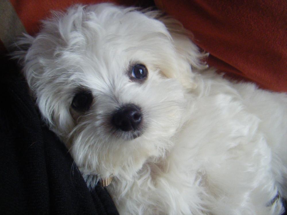 Der Hund Meiner Tante Mit Namen Teddy Foto Bild Tiere Haustiere