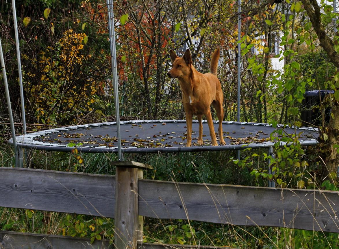 Der Hund von Trampolin-Ville