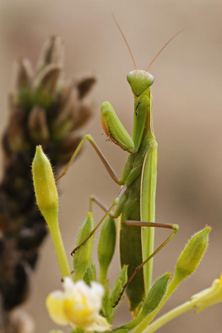 Der Hynotische Blick der Mantis
