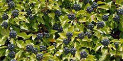 Der immergrüne Efeu (Hedera helix) - Le Lierre, une plante médicinale!