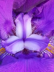 Der IRIS in die Blüte geschaut
