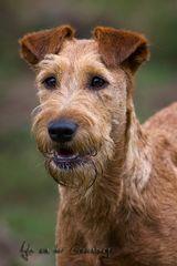 Der Irish Terrier