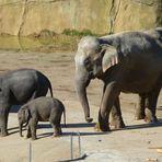 Der jüngste Sproß der Kölner Elefantenherde