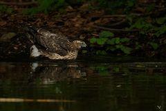 Der junge Habicht (Accipiter gentilis) ... die 2te ...