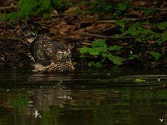 Der junge Habicht (Accipiter gentilis) ... die 3te