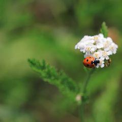 der käfer...