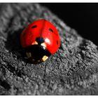 Der Käfer in Rot