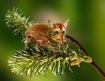 Der Kätzchenrüssler