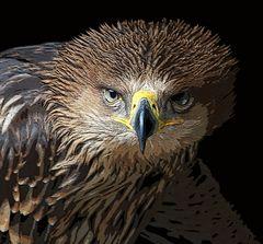 Der Kaiseradler