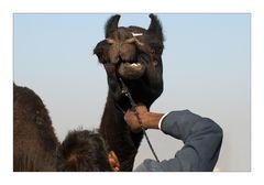Der Kamelfriseur
