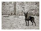 Der Kampfhund