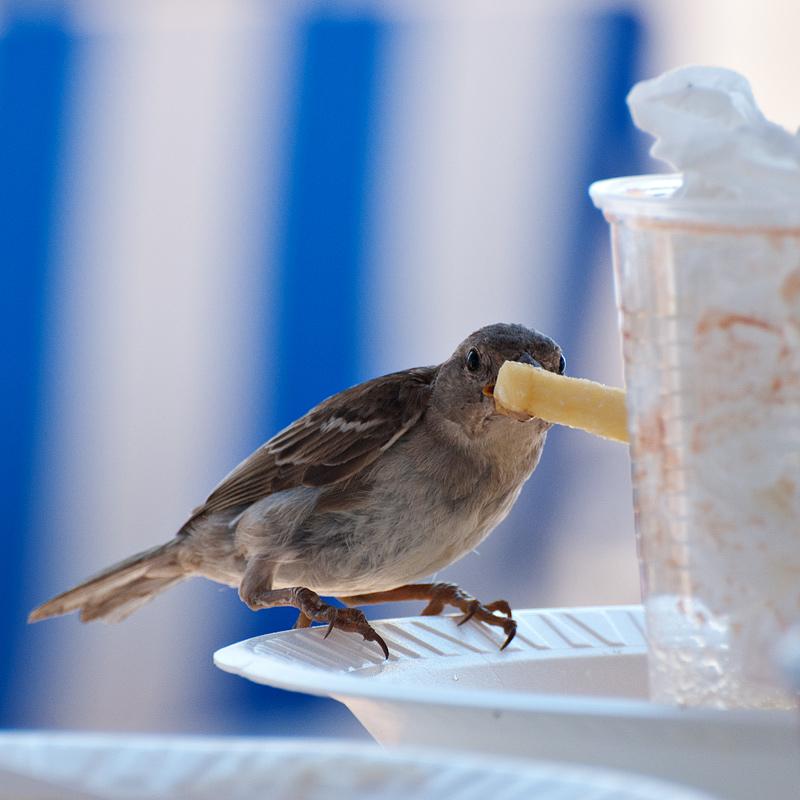 Der kanarische Sperling in seiner natürlichen Umgebung ;-)