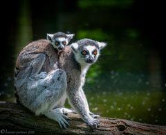 Der Katta (Lemur catta) ist eine Primatenart aus der Gruppe der Lemuren (Lemuriformes).
