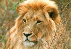 Der King im Chobe NP