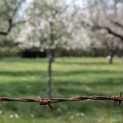 Der Kirschbaum in Nachbars Garten.